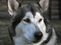 We have two 4 month old purebred Alaskan Malamute