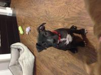 Zeus is a 4 month old boxer puppy looking to go home