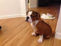 Beautiful English Bulldog. 4 months old, comes with