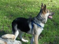 I have a beautiful you g german shepherd female. she