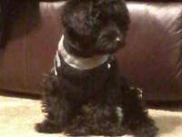 I have a loving, energetic male yorkie poo that needs a