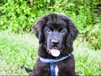 Great dog, AKC, fully vetted, microchipped, unneutered.