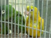 FEMALE Golden Conure available for delivery