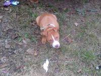 I am sellin a four month old red noise pit bull puppy.