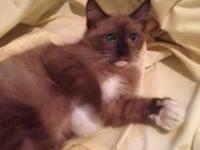 We have 3 TICA Ragdoll kittens born April 22 ready for