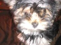 Beautiful petite 4 month old yorkie for sale .. she is