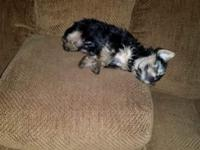 I have a 4 month old male yorkie for sale. We are the