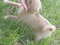 Male Chihuahua born June 7, 2015. Blue eyes, playful