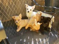 Cute Pomeranian/Chihuahua puppies (3 Males-White /