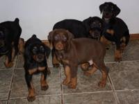 We have 4 Purebred AKC Registered Doberman Pinscher