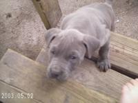 I have 4 purebred pitbull puppies left 2 blues one