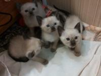 Siamese kitties ready October 30th. No documents will