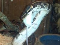 I have 4 python snakes easy to handle is use to