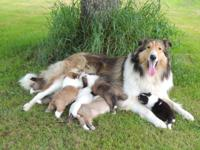 4 Rough Collie Puppies, 7.5 weeks old, 1 Boy and 3
