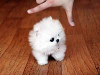 Teacup Pomeranian Puppies for sale! we have 2 males and