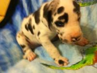 Now taking deposits!!!!!! Born Sept. 28th Pups will be