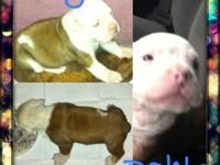 4 weeks old blue sable male (pick of the litter) sired