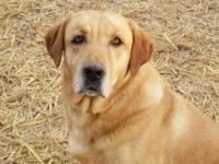 AKC And CKC Registered Labrador Retriever. His name is