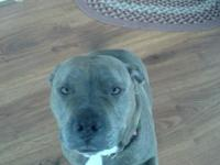 Beautiful blue nose pitbull. She's 4 years of ages. Her