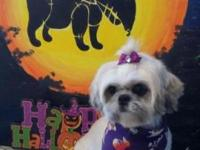 This is Abby. She is a 4 year old pure bred shih tzu.