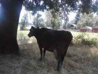 this cow produces heavy cream very gentl great family