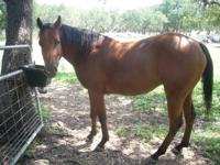 4 year old mare horse for sale. She is gentle but still