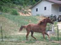 i have a nice sorrel four year old gelding . he is tall