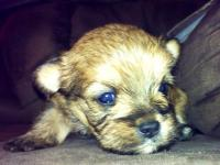 4 Male Yorkie-poo's for sale! They were born January 1,