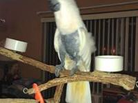 3 yr old female mollucan macaw i bought on line here a