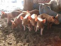 Berkshire duroc hampshire Pigs for sale 1 week old! 2