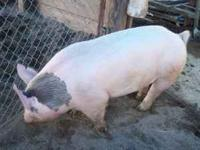 Charlie is a 4H back up grain fed pig. He is York cross