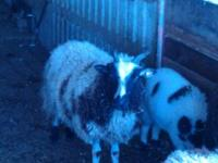 1 blk/wht yearling 4Horn ewe $125 1 blk/wht five year