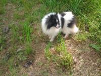 Sheltie/pom cross male. Very sweet, and loves to follow