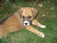 Boxer-Pyrenees mix puppies born on the 4th of July are