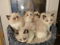 ADORABLE RAGDOLL KITTENS FOR SALE BORN 4-22-12 WILL BE