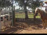 4yr old APHA breeding stock paint Palomino 15.2+hds