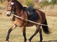 Thunder is a sweet TB gelding that has been used for