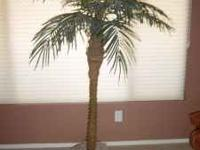 5.5 ft. Phoenix Palm Tree in basket. 48 in. spread.