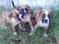 I have 5 cute little male boxer puppies left to choose