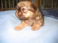 5 male Shih tzu puppies for sale. They are 6 weeks old,