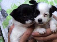 These five beautiful puppies are family raised and the