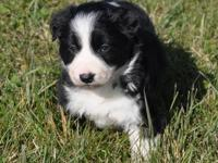 We have 5 beautiful Border Collie pups born 10/03/13