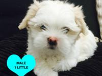 5 Adorable Shih Tzu/Yorkie Puppies.. Dad is a pure Shih