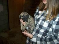 We have 5 Great Dane Puppies available (one of the