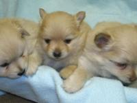 I have 5 AKC pom young puppies for sale. They are
