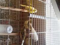 5 beautiful female young canaries one white Russian,