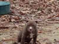 5 bully beautiful puppys they need home soon it's
