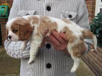 Animal Type: Dogs 5 Cavalier puppies are ready for