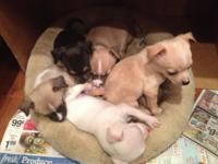 We have 3 lovable Chihuahua young puppies ready for a