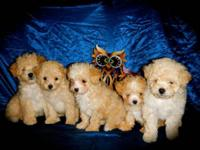 5 cute cavapoo young puppies 1male 2 females 1st DHPP